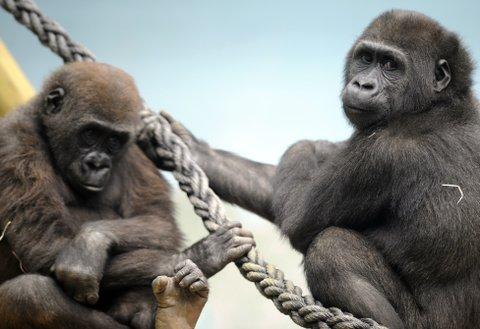 Gorilla sex pictures #12